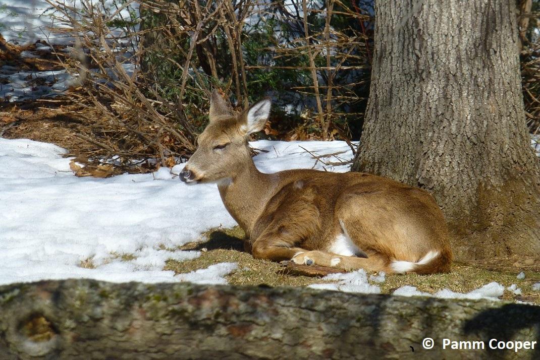 doe sleeping in backyard winter under oak