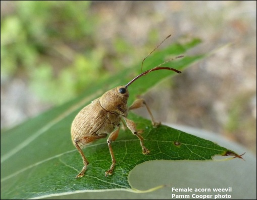 female acorn weevil Pamm Cooper photo