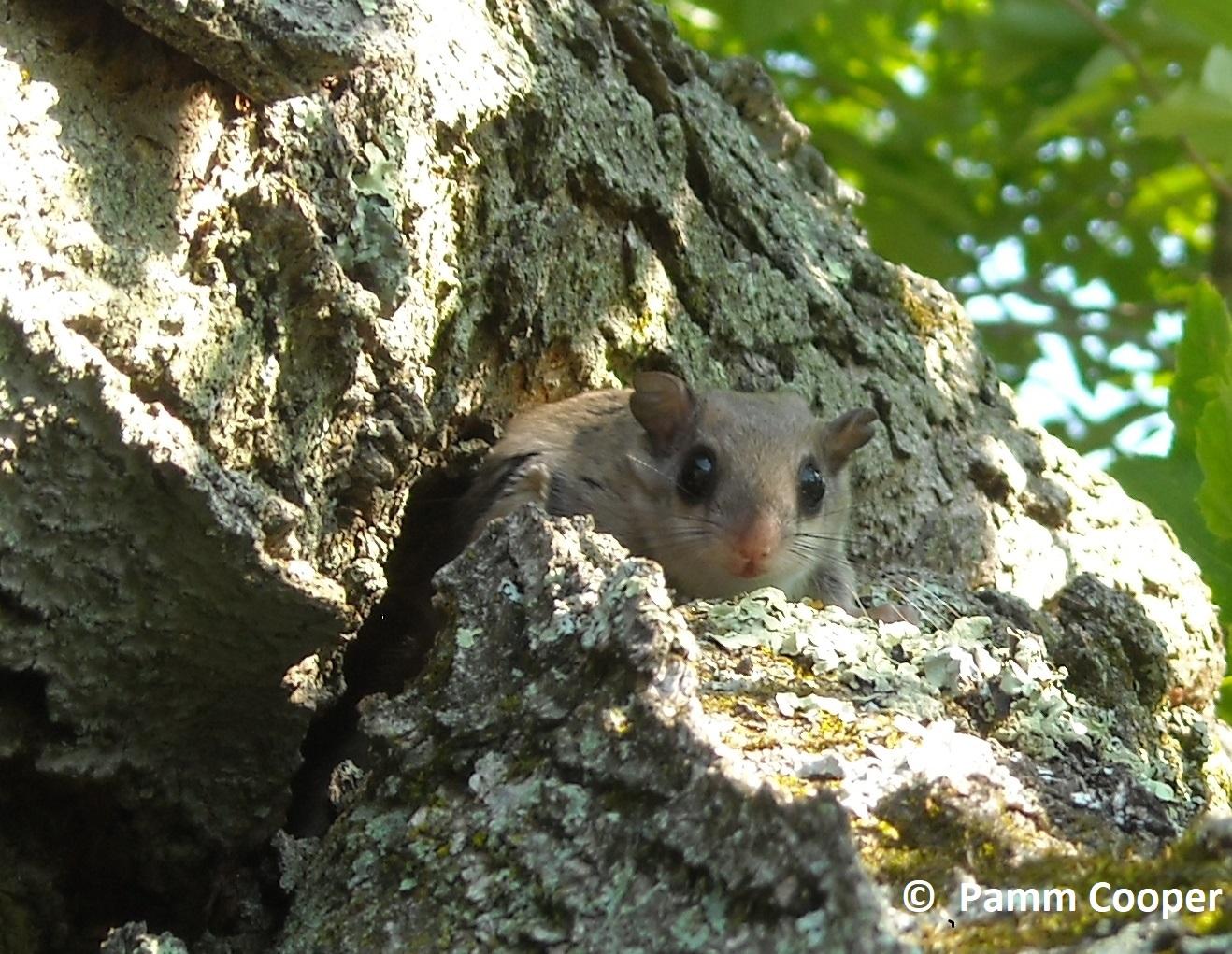 flying squirrel near nest hole