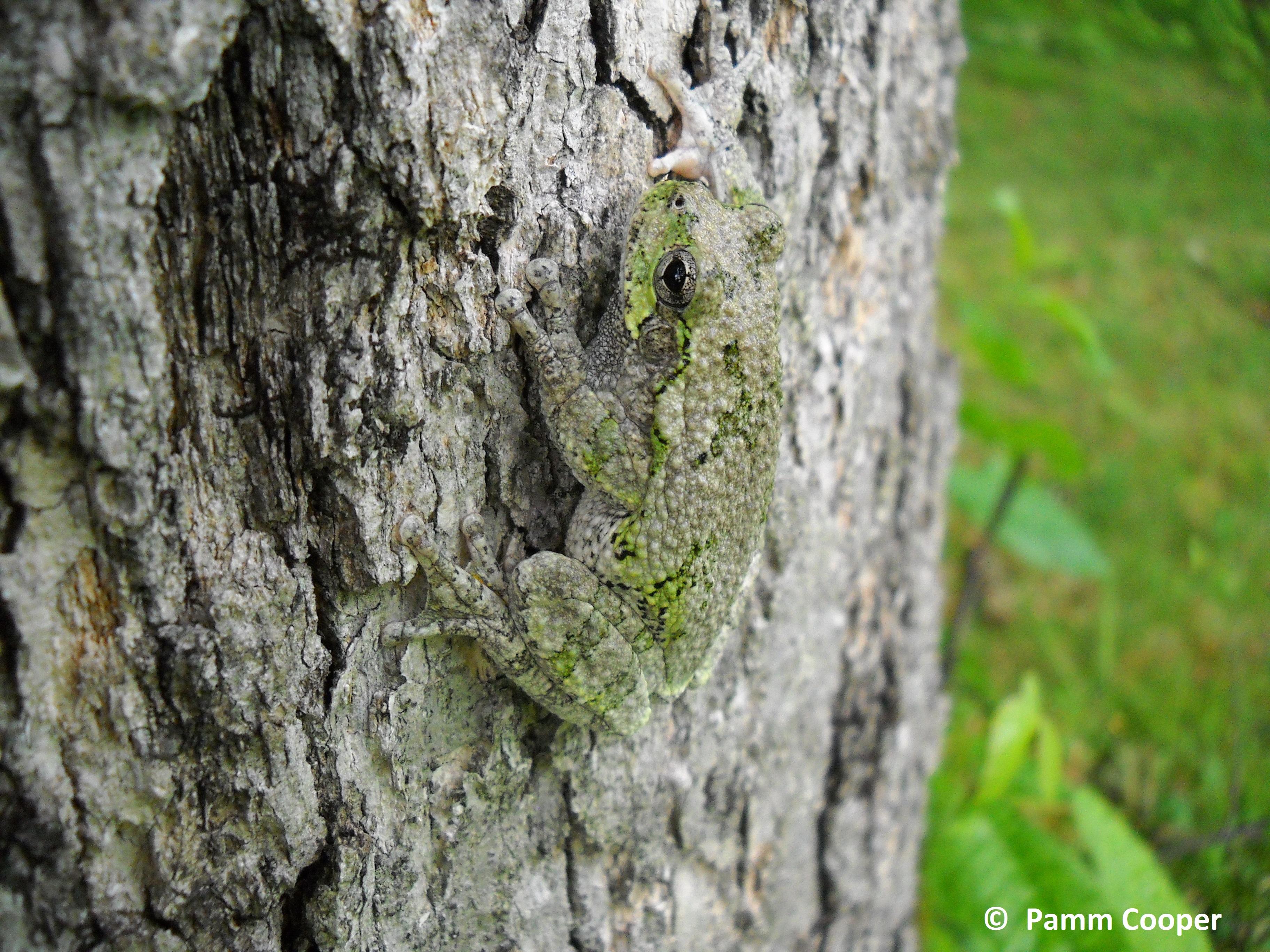 tree frog common gray on tree trunk