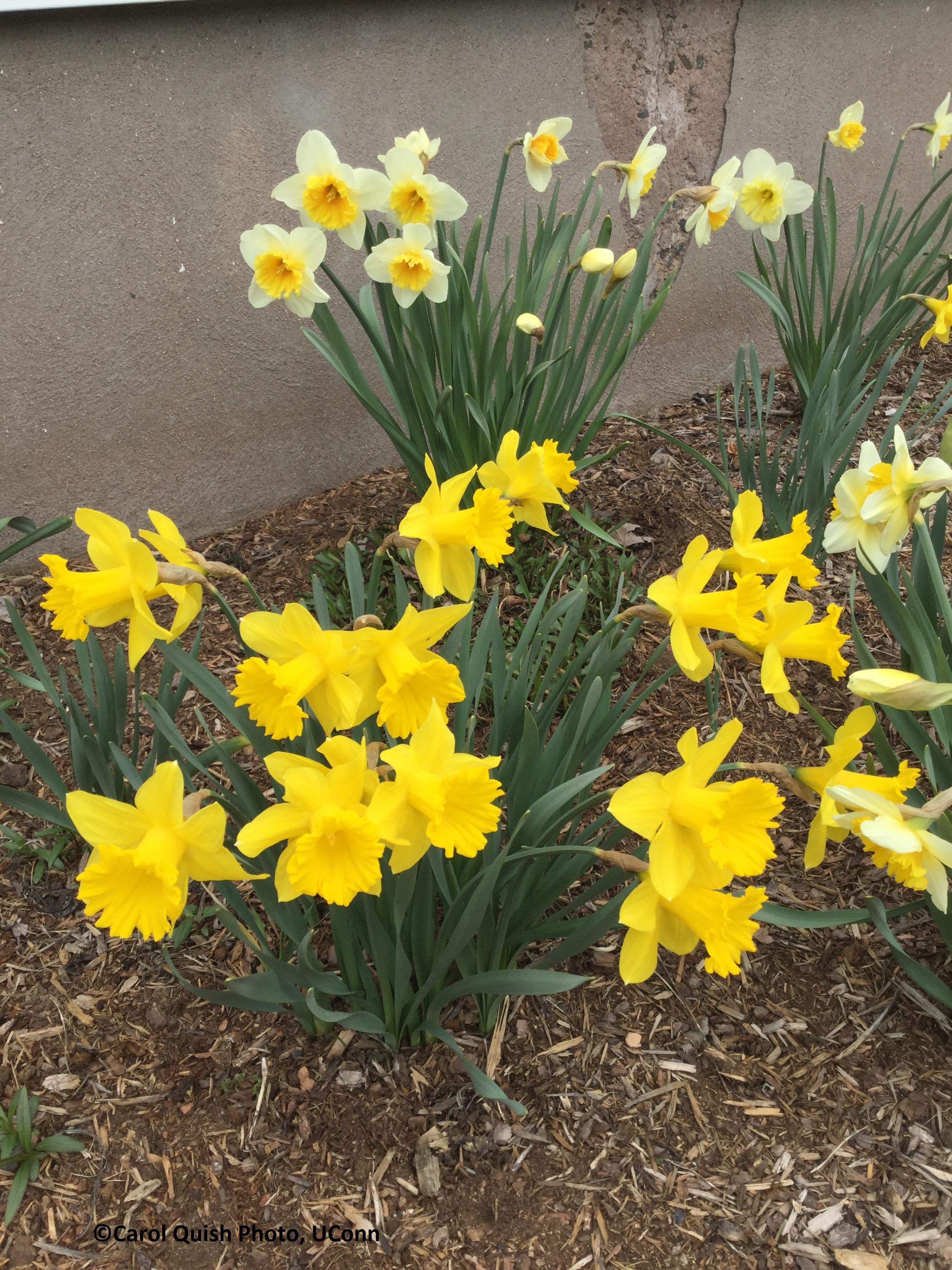 daffodil clumps