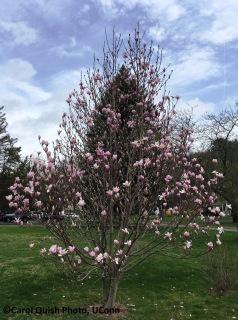 magnolia soliangia