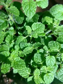 Mint 'Strawberry'