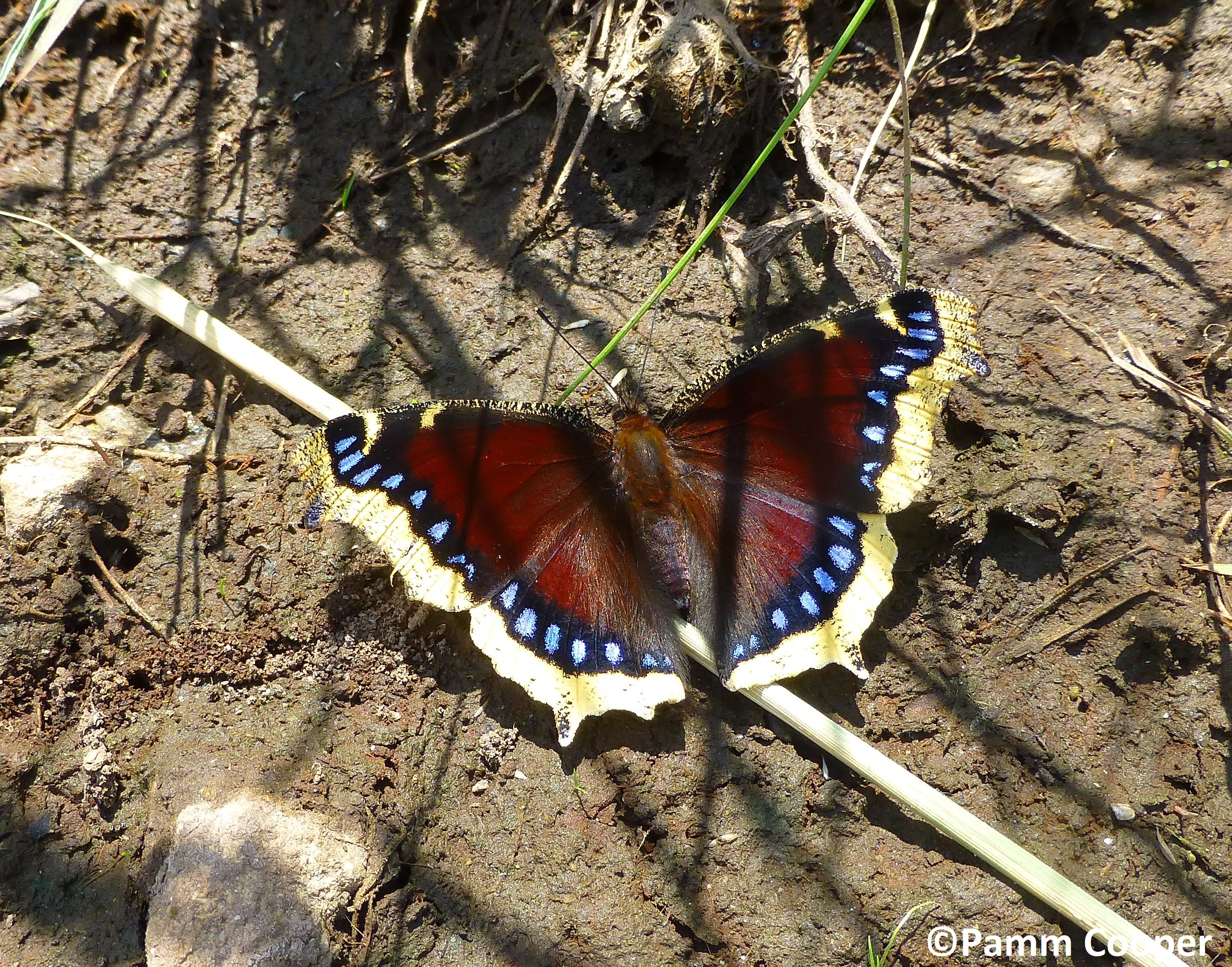 Mourning cloak early spring