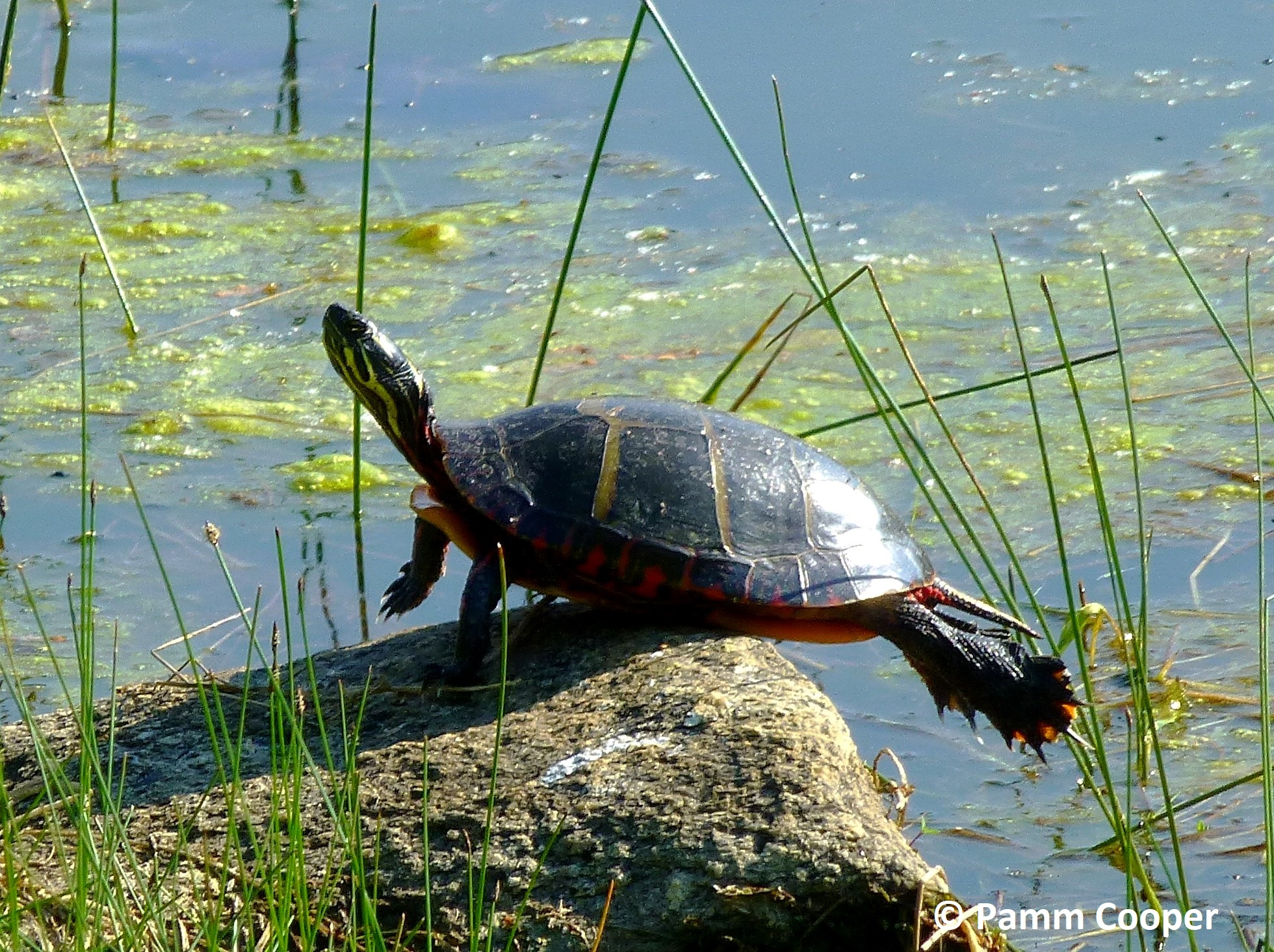 painted turtle stretching