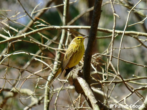 palm warbler on migration in April pamm Cooper photo