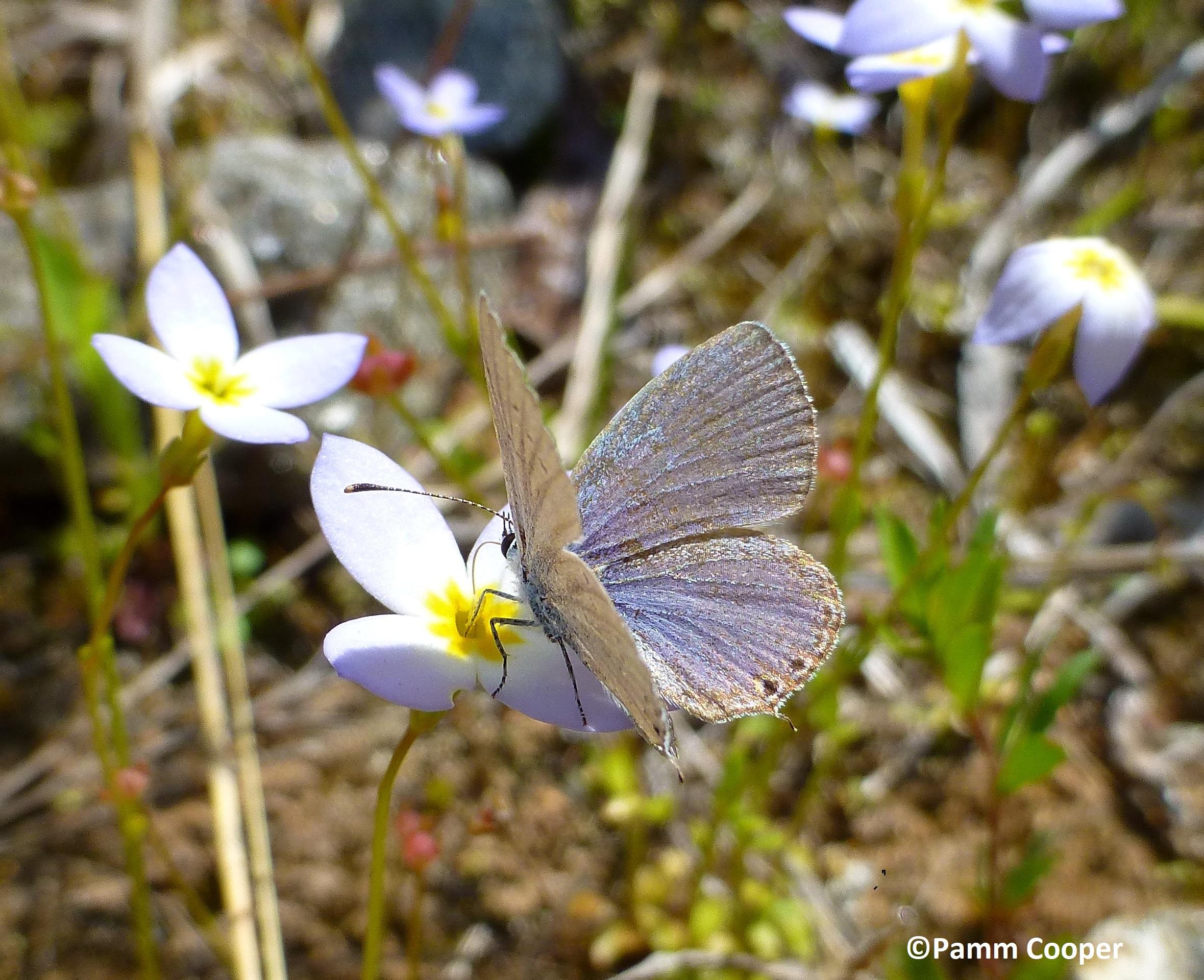 spring azure on bluet May 19 2016