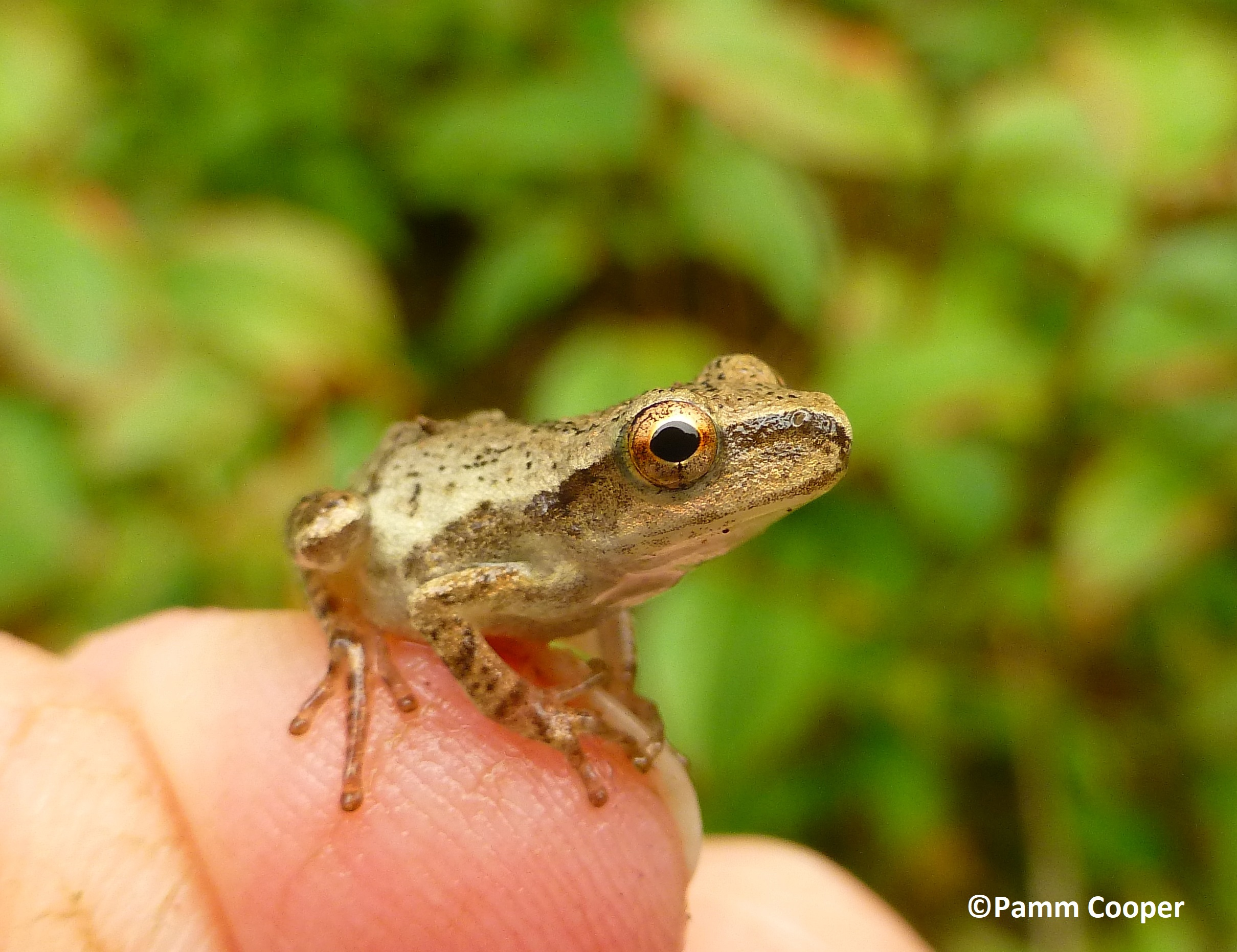 Spring peepers live up to their name