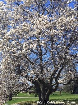 star magnolia 4-2019