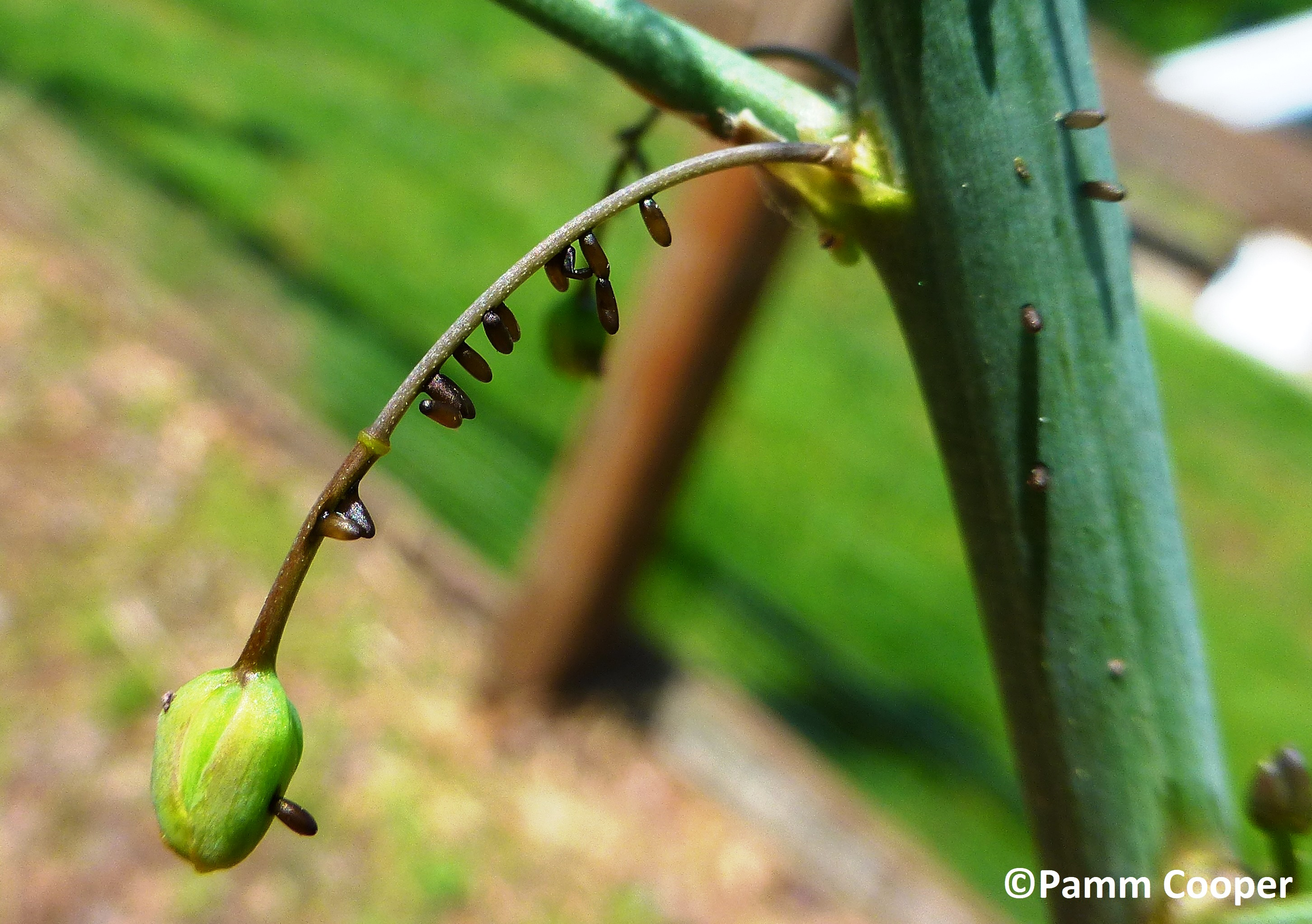 asparagus beetle eggs May 20 2019