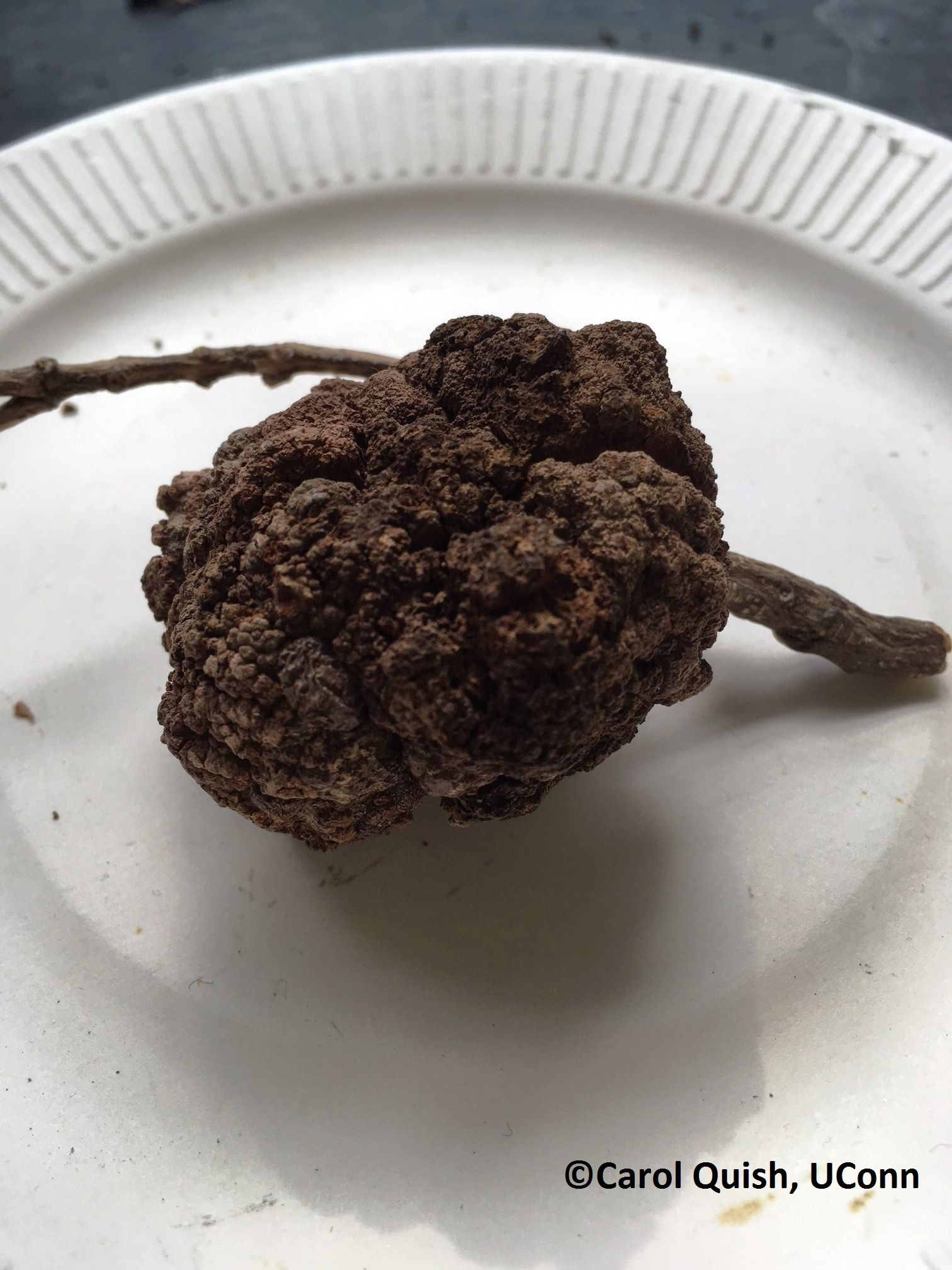 crown gall - Copy