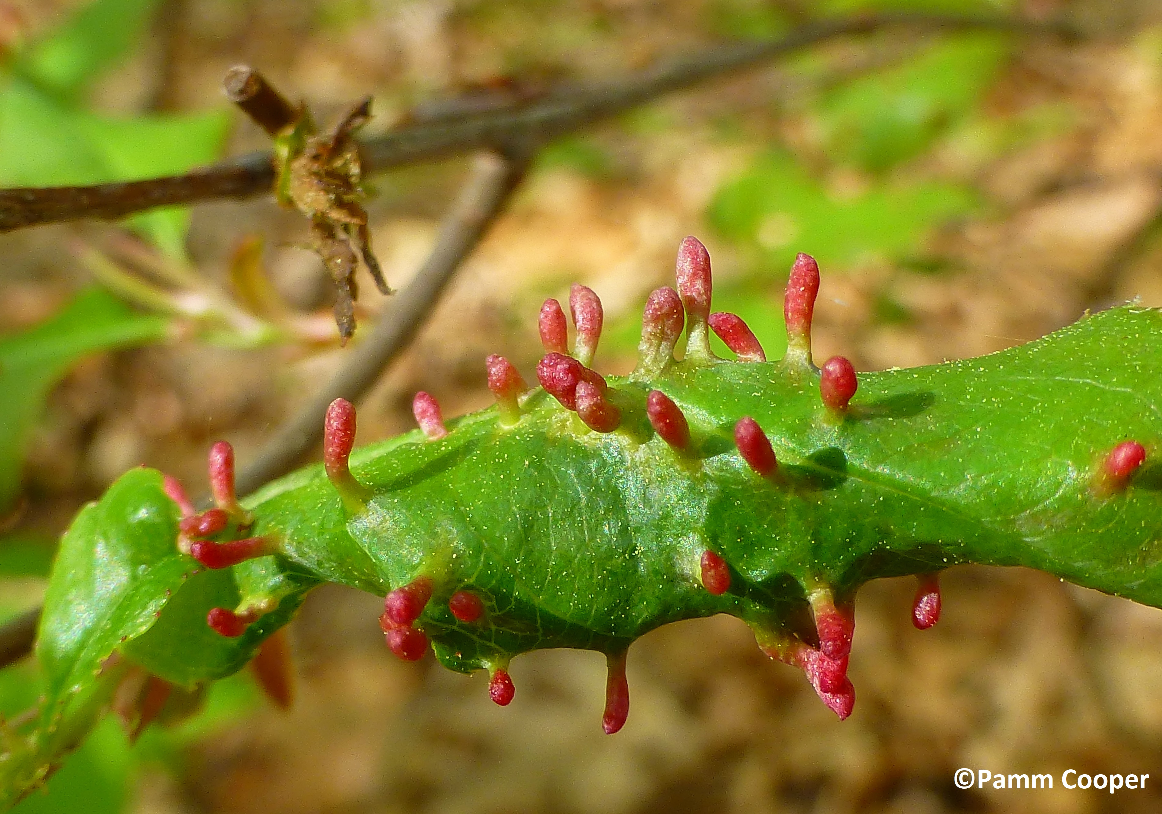 finger galls on small cherry