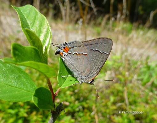 first gray hairstreak seen 2018 may