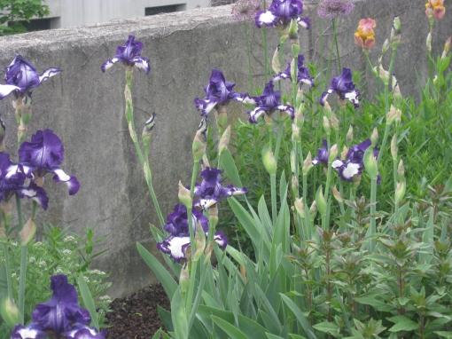 Iris bearded