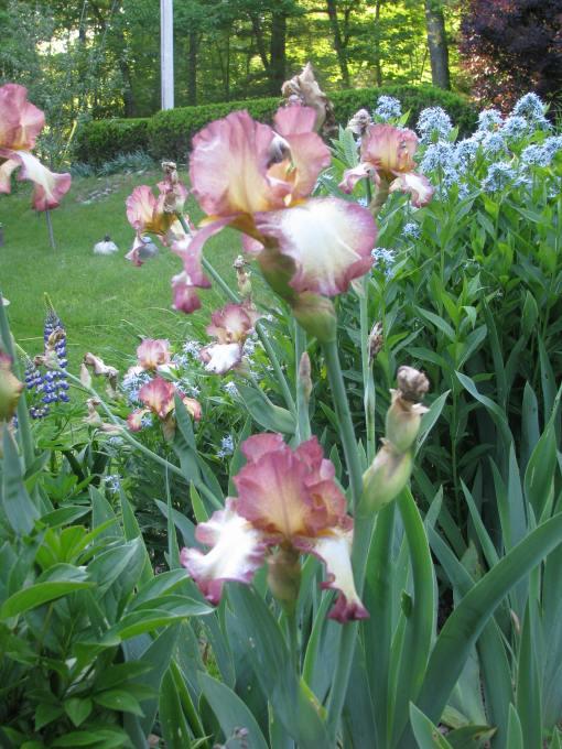 Iris Cinnamon Girl