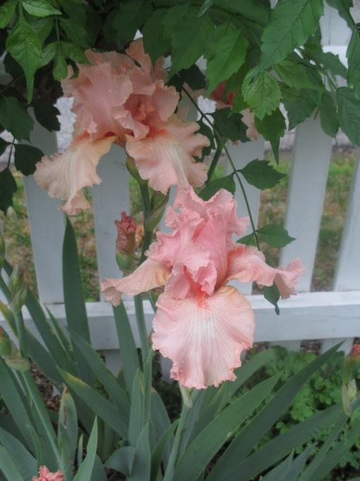 Iris peach