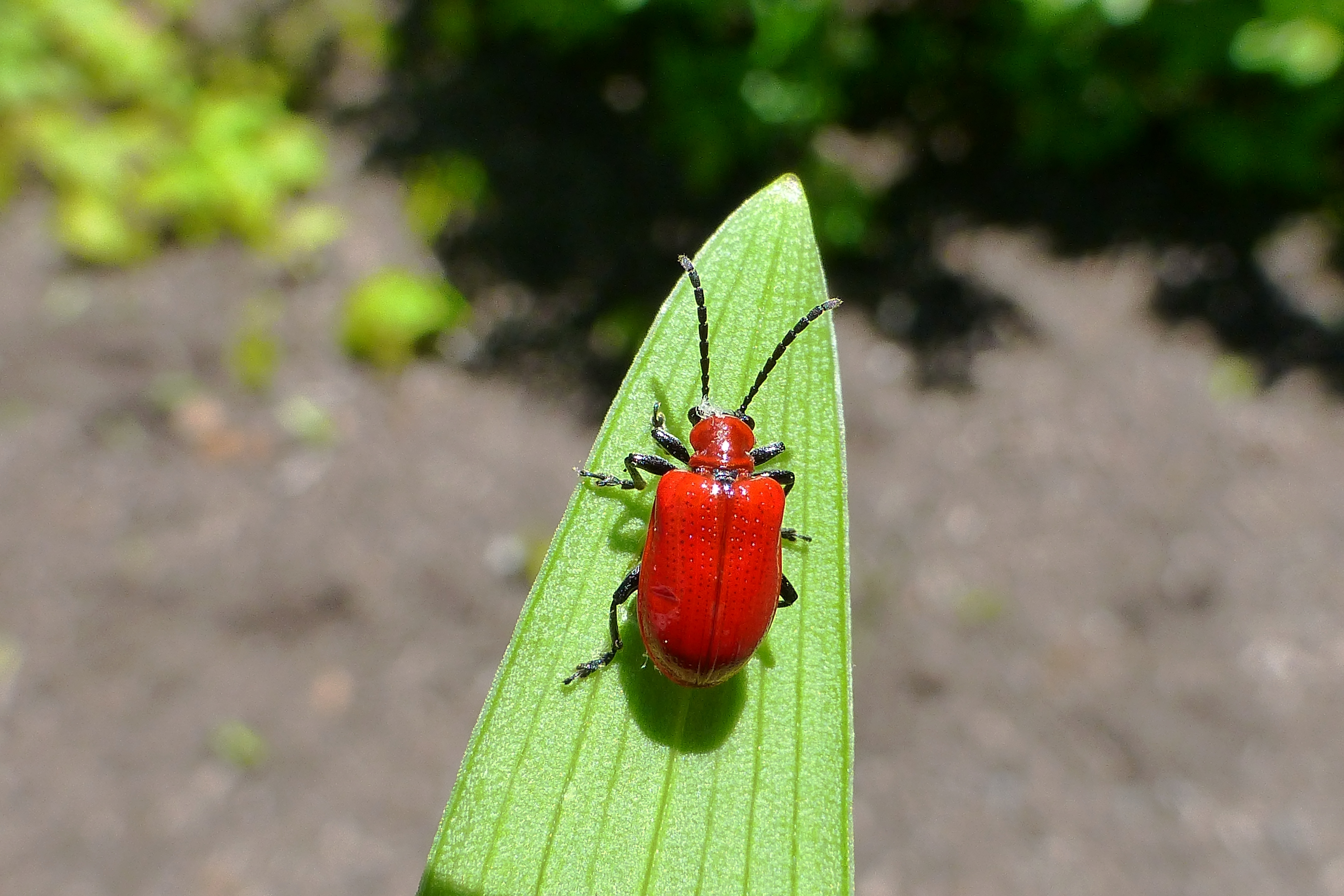 lily leaf beetle GHills mid- MAy 2018