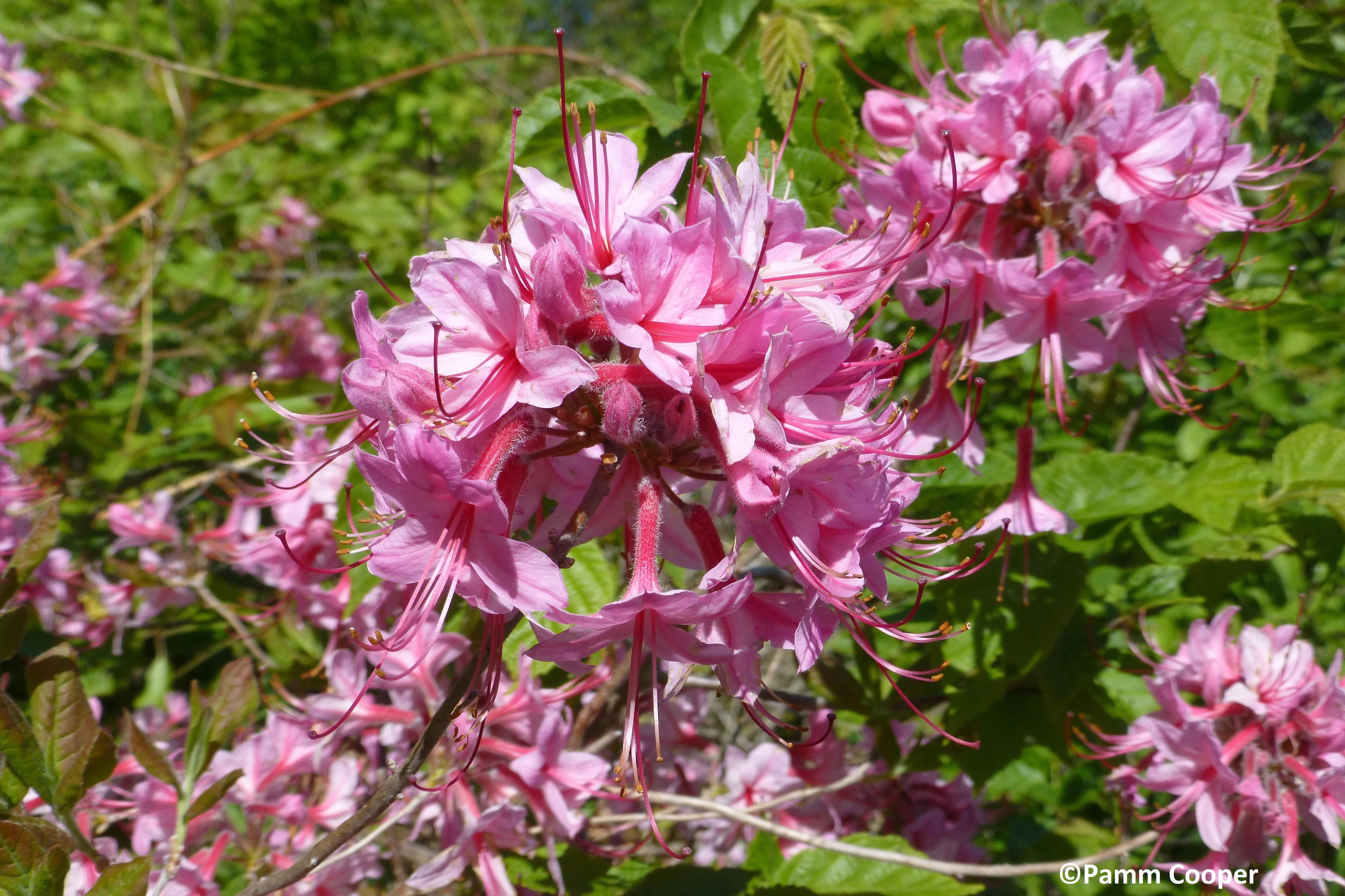 pinxter flower native 5-22-15 Ruby Fenton - Copy
