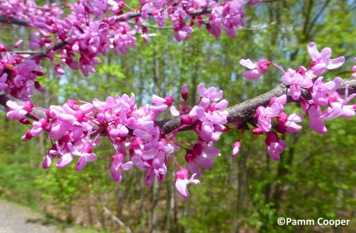 red bud flowers May 6 2019