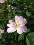 Dog rose, Rosacanina