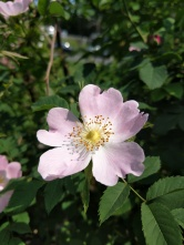 Dog rose, Rosa canina