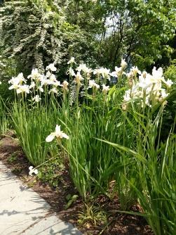 Siberian iris white
