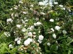 White drift roses