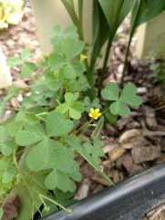 Common yellow woodsorrel, Oxalis stricta