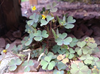 Creeping woodsorrel, Oxalis corniculata