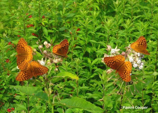 8 fritillaries on milkweed