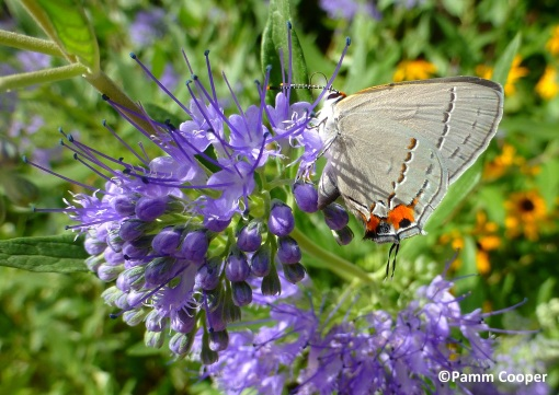 Gray hairstreak on bluebeard (Caryopteris)