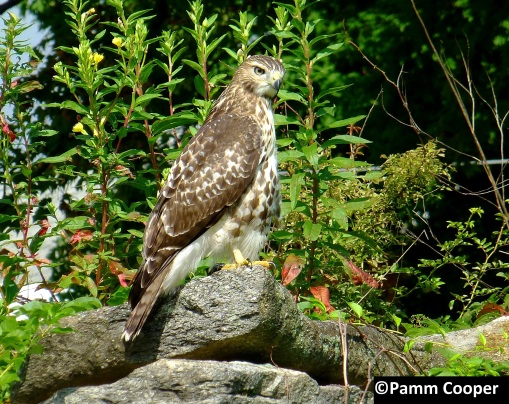 juvenile red- tailed hawk on rock wall late summer