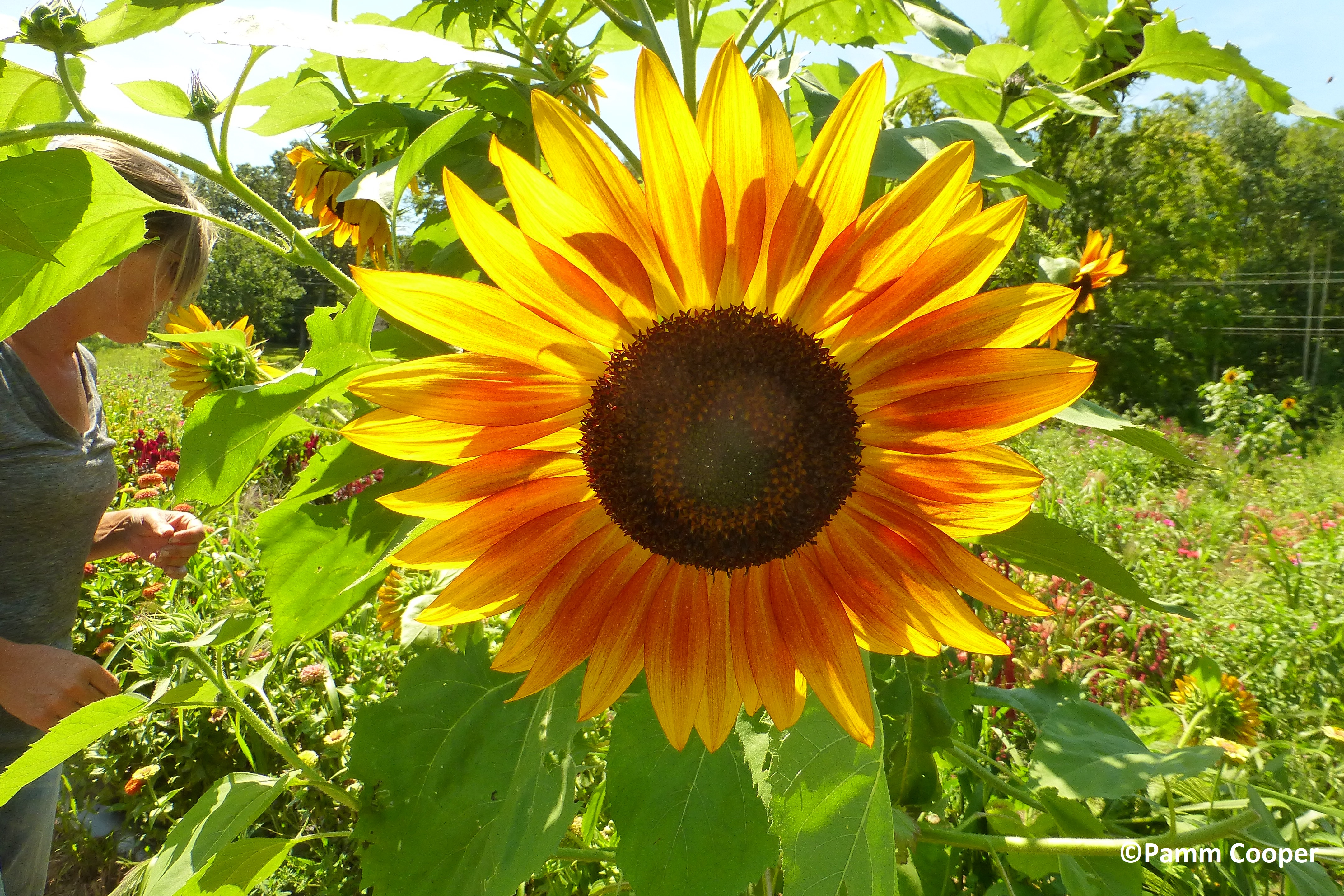 Sunflowers can be started from seed and should be in full bloom by the end of August