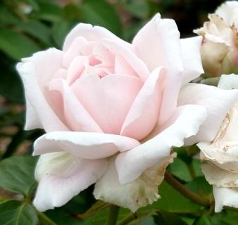 rose 15