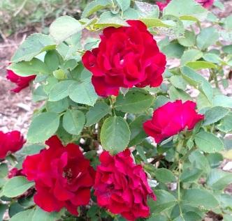 rose 16