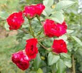 rose 5