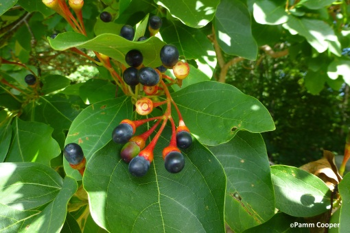 sassafras fruit
