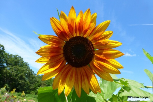 Sunflower in its glory