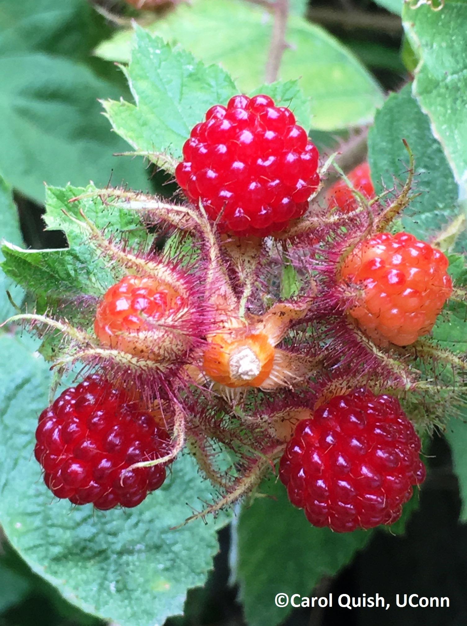wineberry upclose