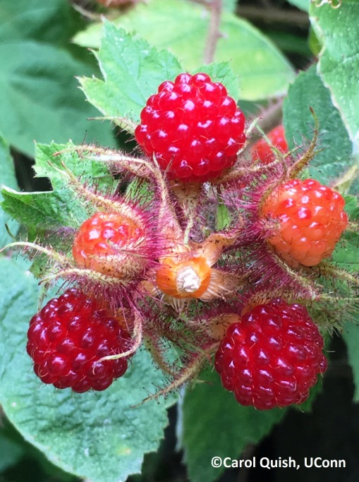 wineberry upclose