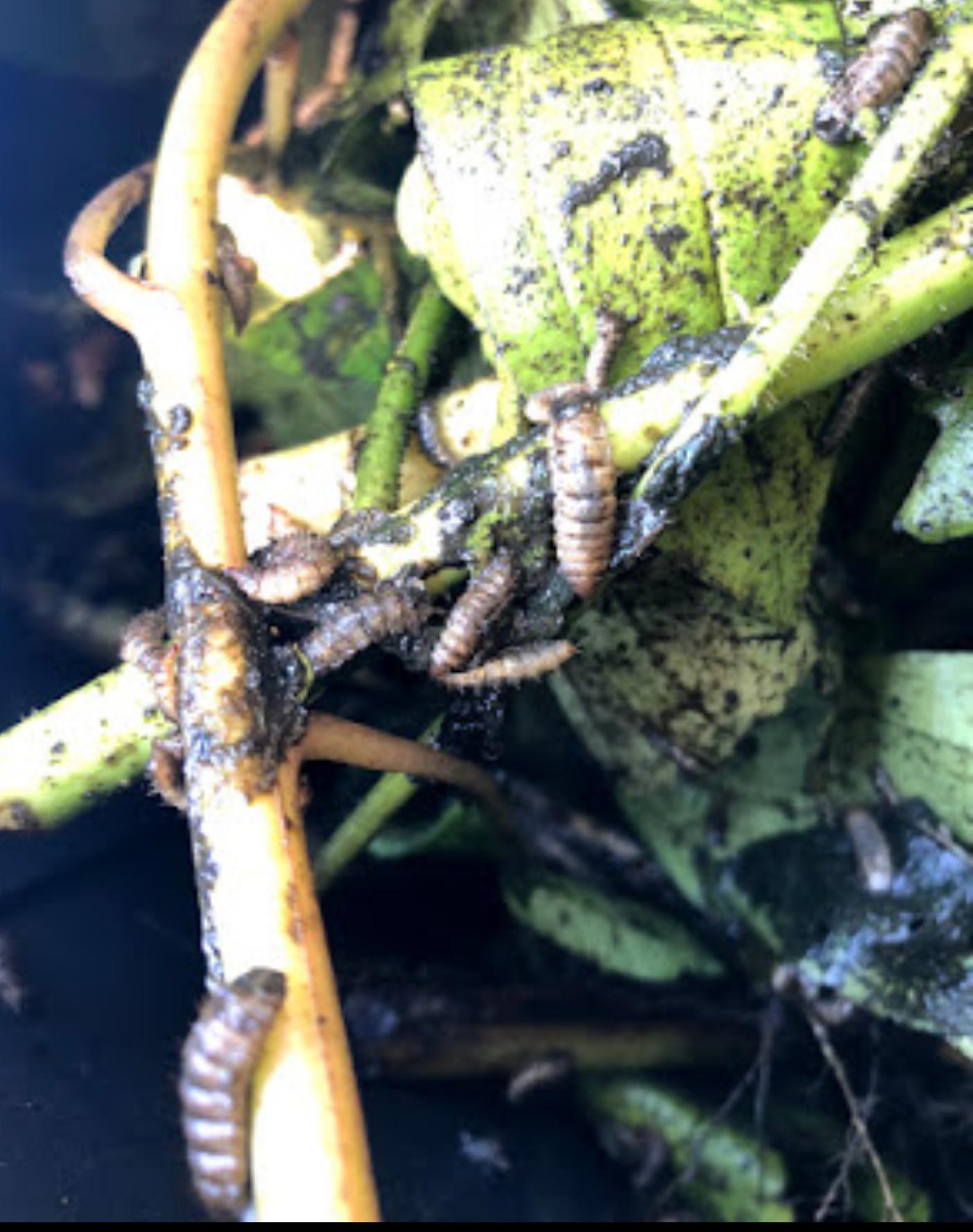 BSF larva 1 image by Jamie Zimmerman.png