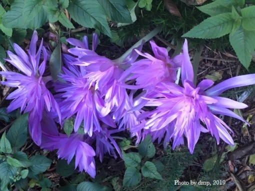 Double colchicum Waterlily 1