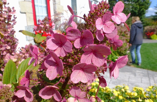 Bobo® Panicle Hydrangea hydrangea paniculata 9-30-2019
