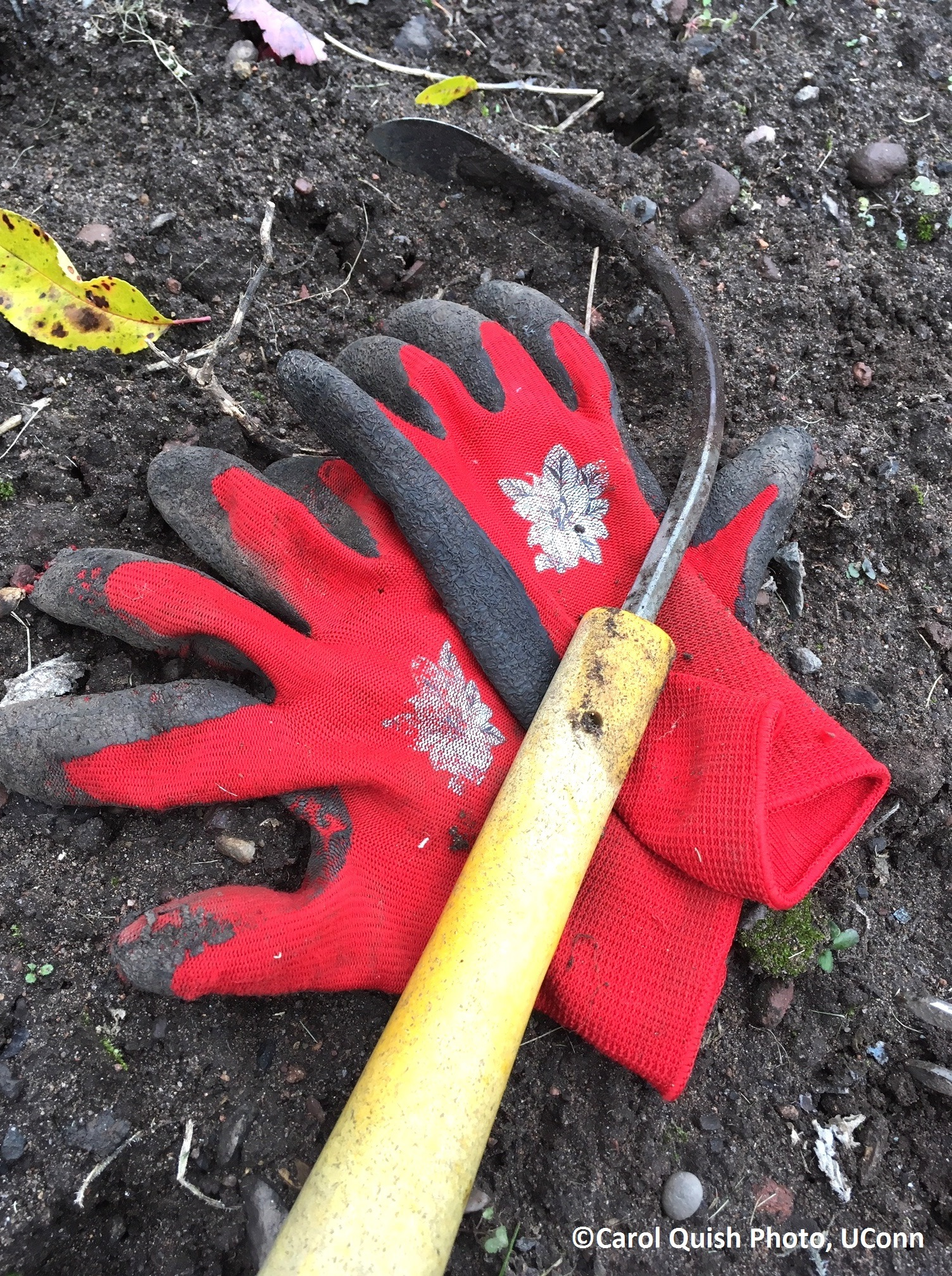 cobrahead weeder and red gloves
