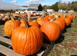 CT field pumpkins