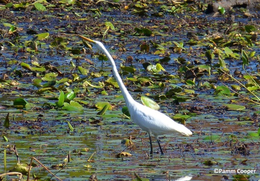 great egret Airline swamp Pamm Cooper photo