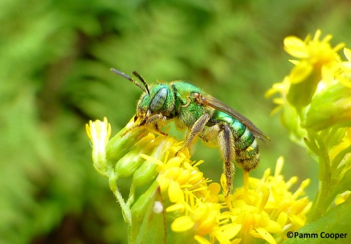 green Agapostemon. bee 2019 Mt Rd
