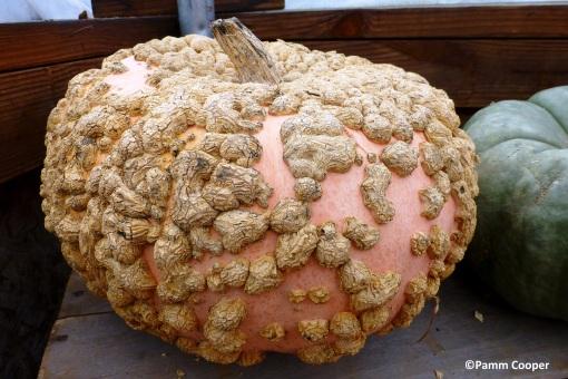 peanut pumpkin Galeux D'Eysines copyright Pamm Cooper