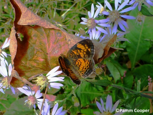 pearl crescent on aster Early fall 2019