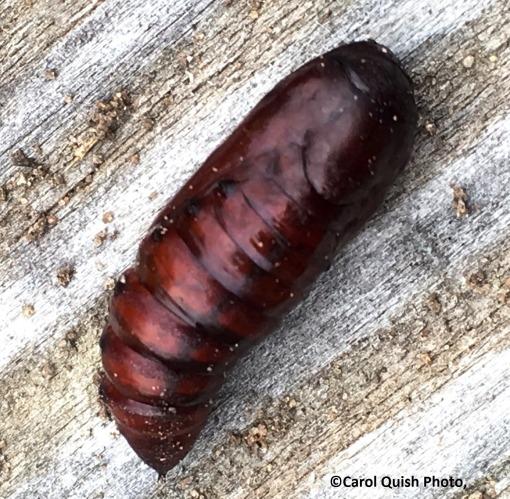 pupa, moth 10-19